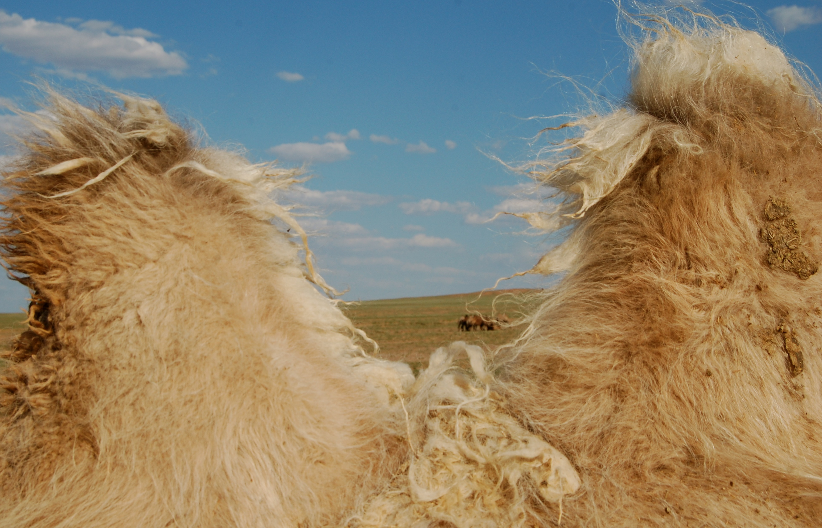 Mongolian camel