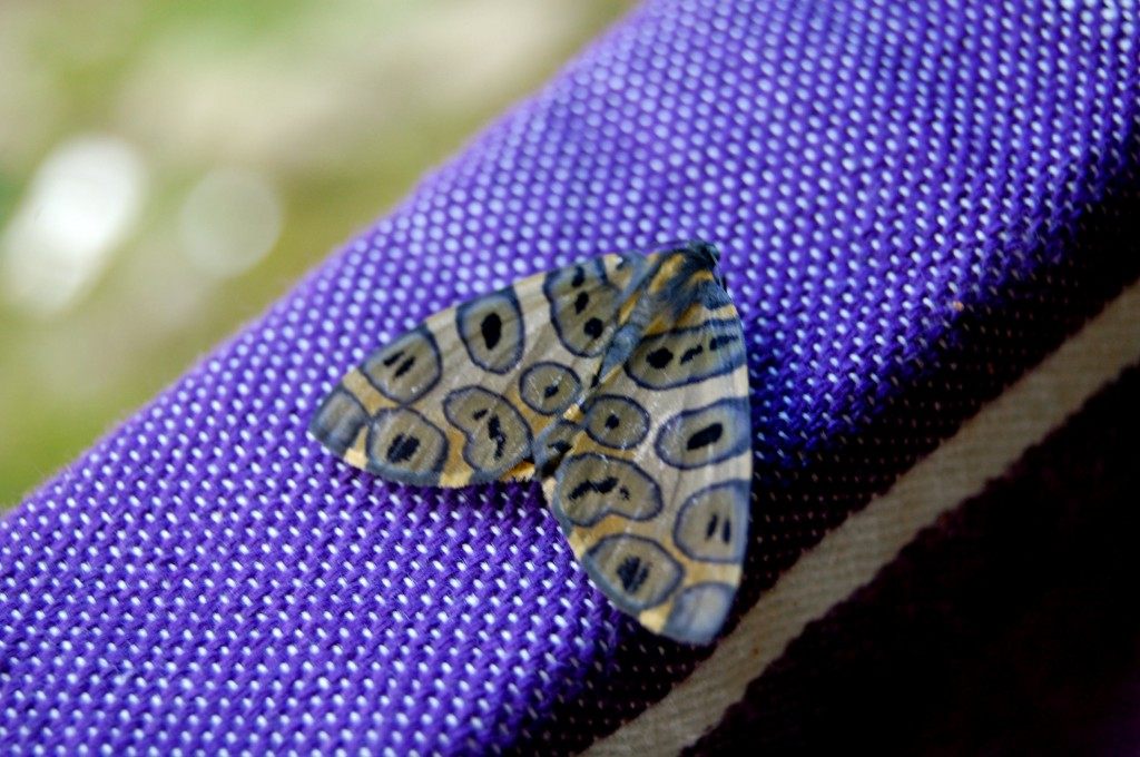 Colombian butterfly with purple and black spots
