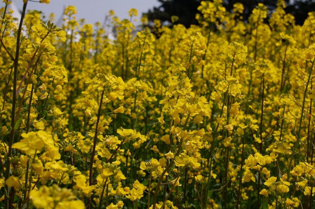 Field of yellow rape flowers in Korea