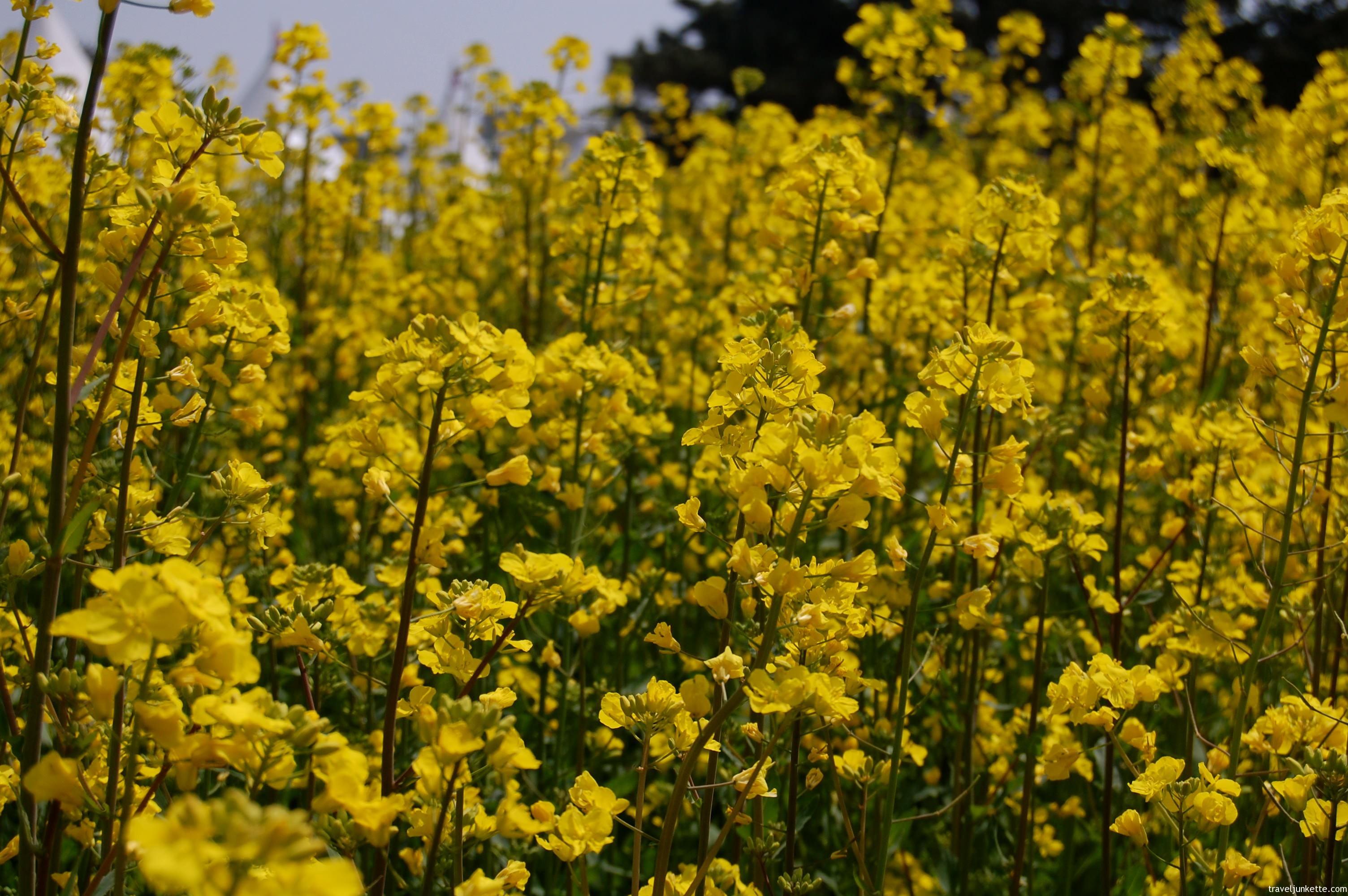 Photo Yellow Field Of Korean Rape Flowers Susan Shain