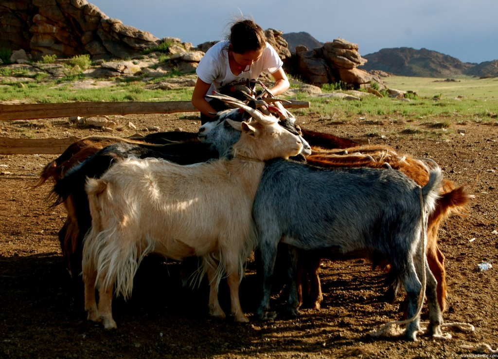 Mongolian girl getting goats ready for milking