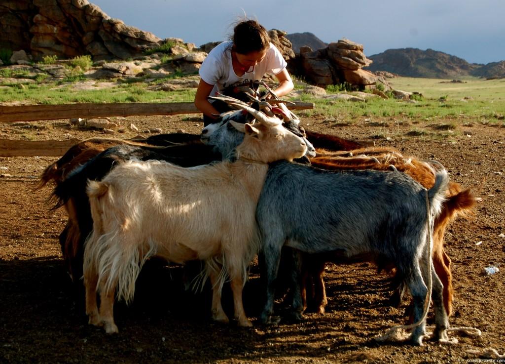 Mongolian girl getting goats ready for milking