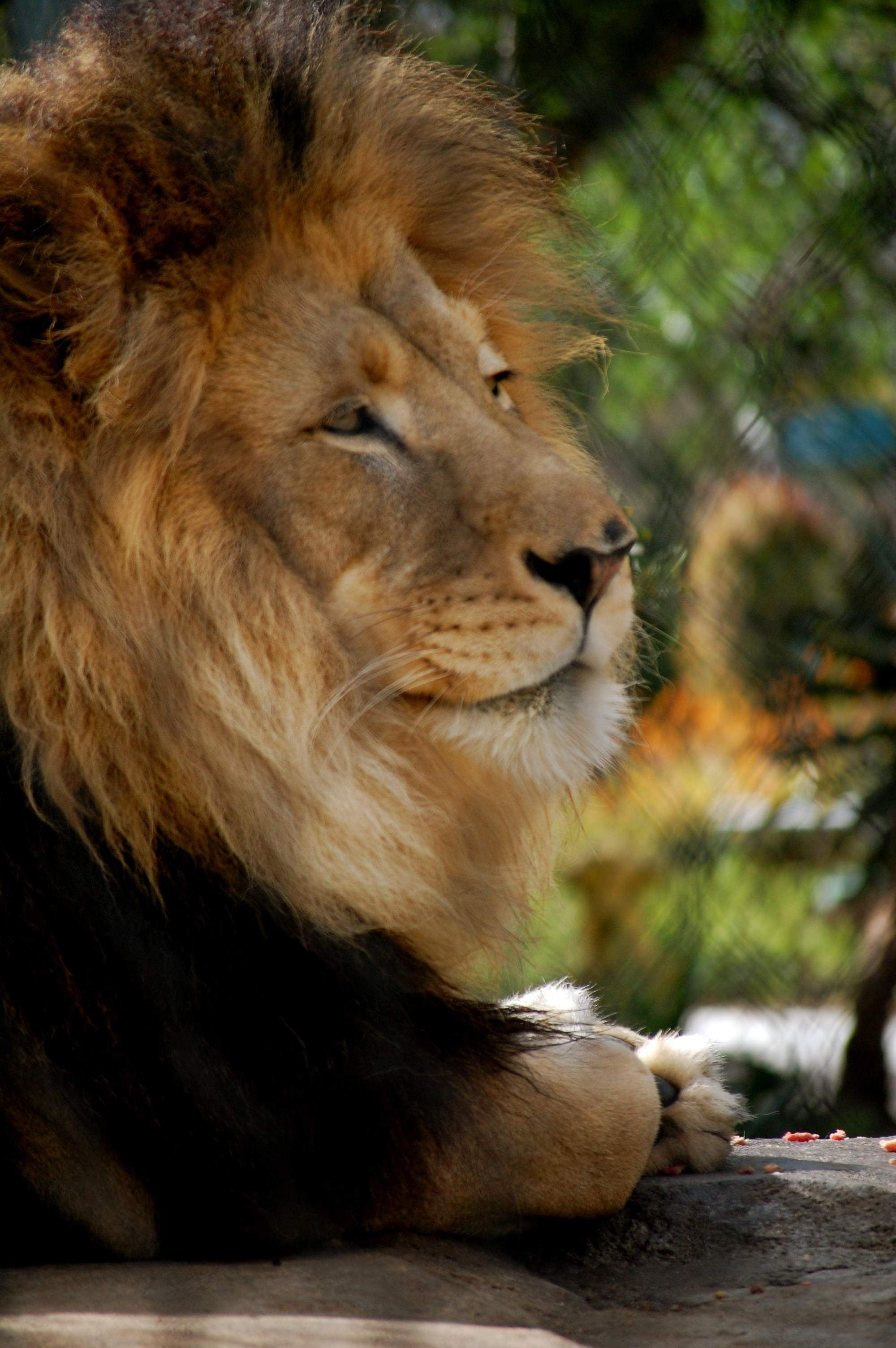 Lion At The San Diego Zoo Susan Shain