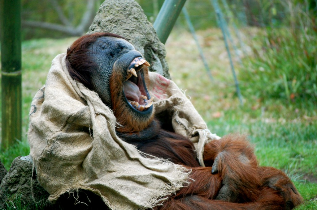 Orangutan yawning at the San Diego Zoo