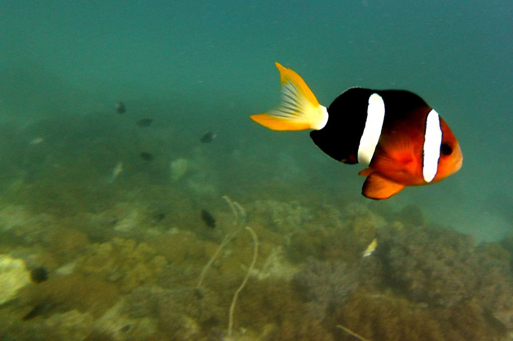 Clown fish in Malapascua Island