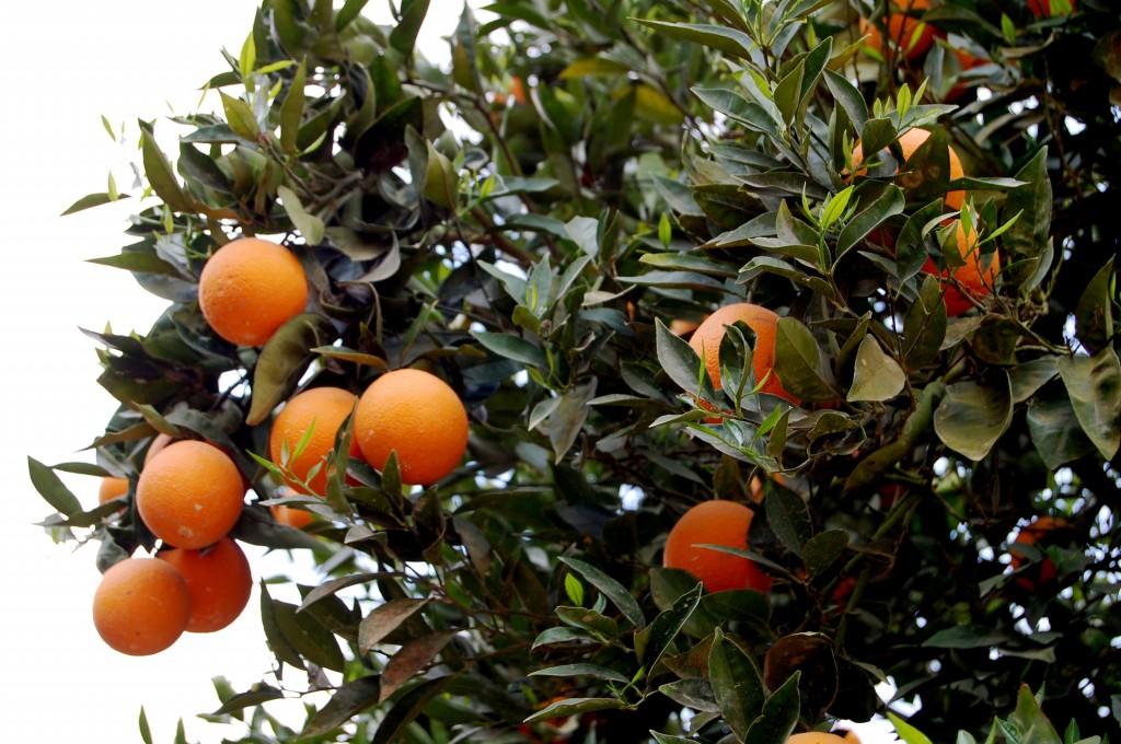 Oranges growing in Israel