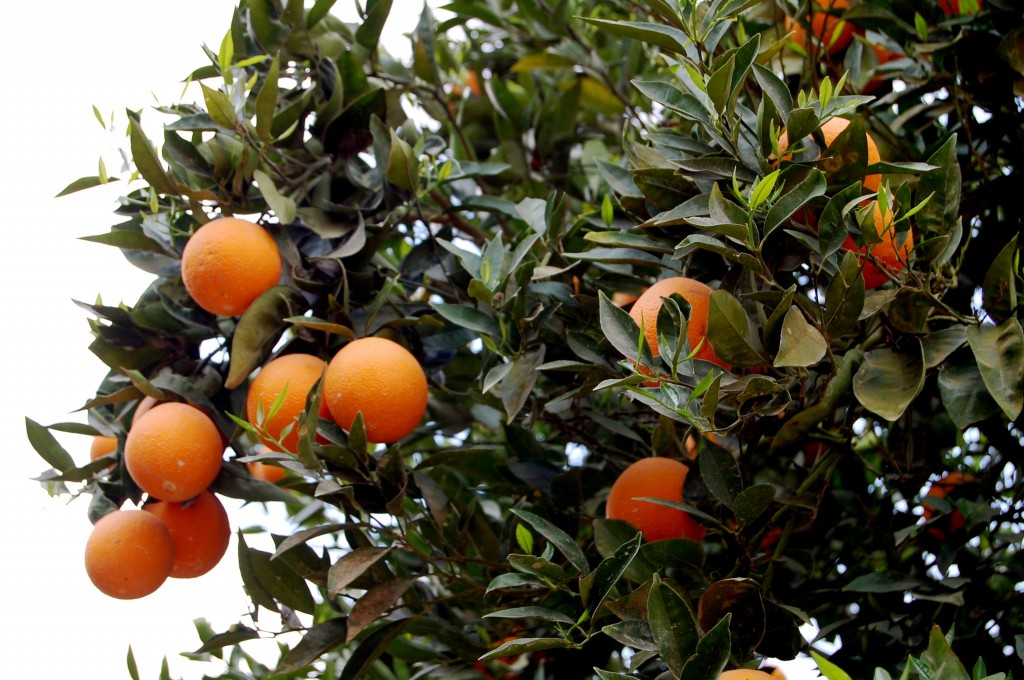 Oranges growing in Israel