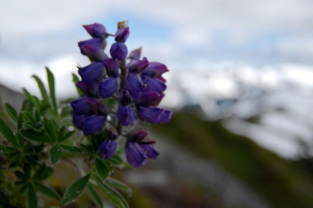 Purple Alaskan lupin