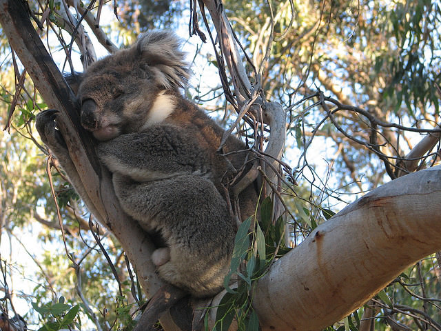 Sleepy koala on branch