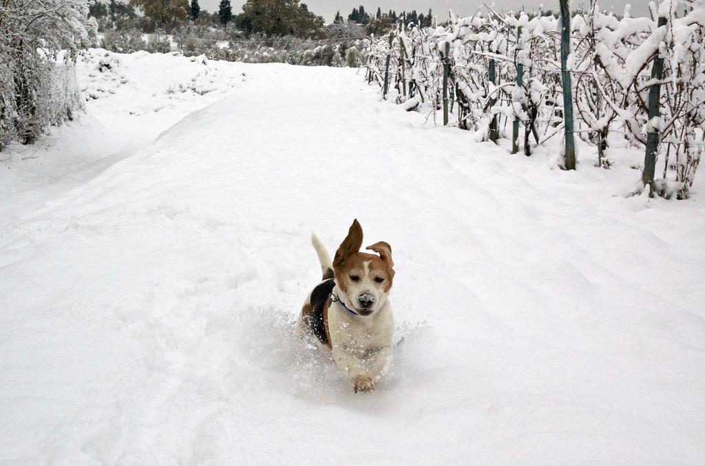 Snow Beagle