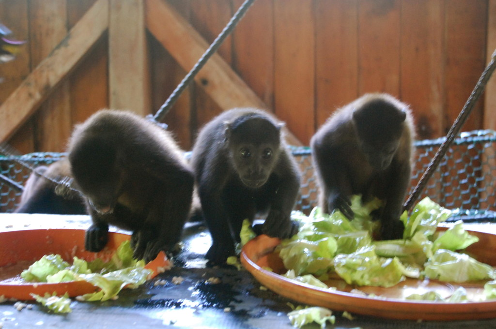 Baby howler monkeys in Nosara, Costa Rica
