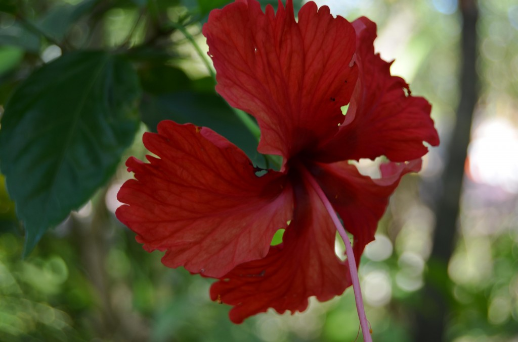Hibiscus at Harbor Reef Surf Resort in Nosara, Costa Rica