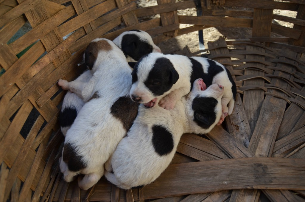 Puppies in a basket in Ometepe