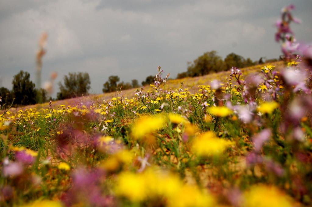 Field of Israeli wildflowers