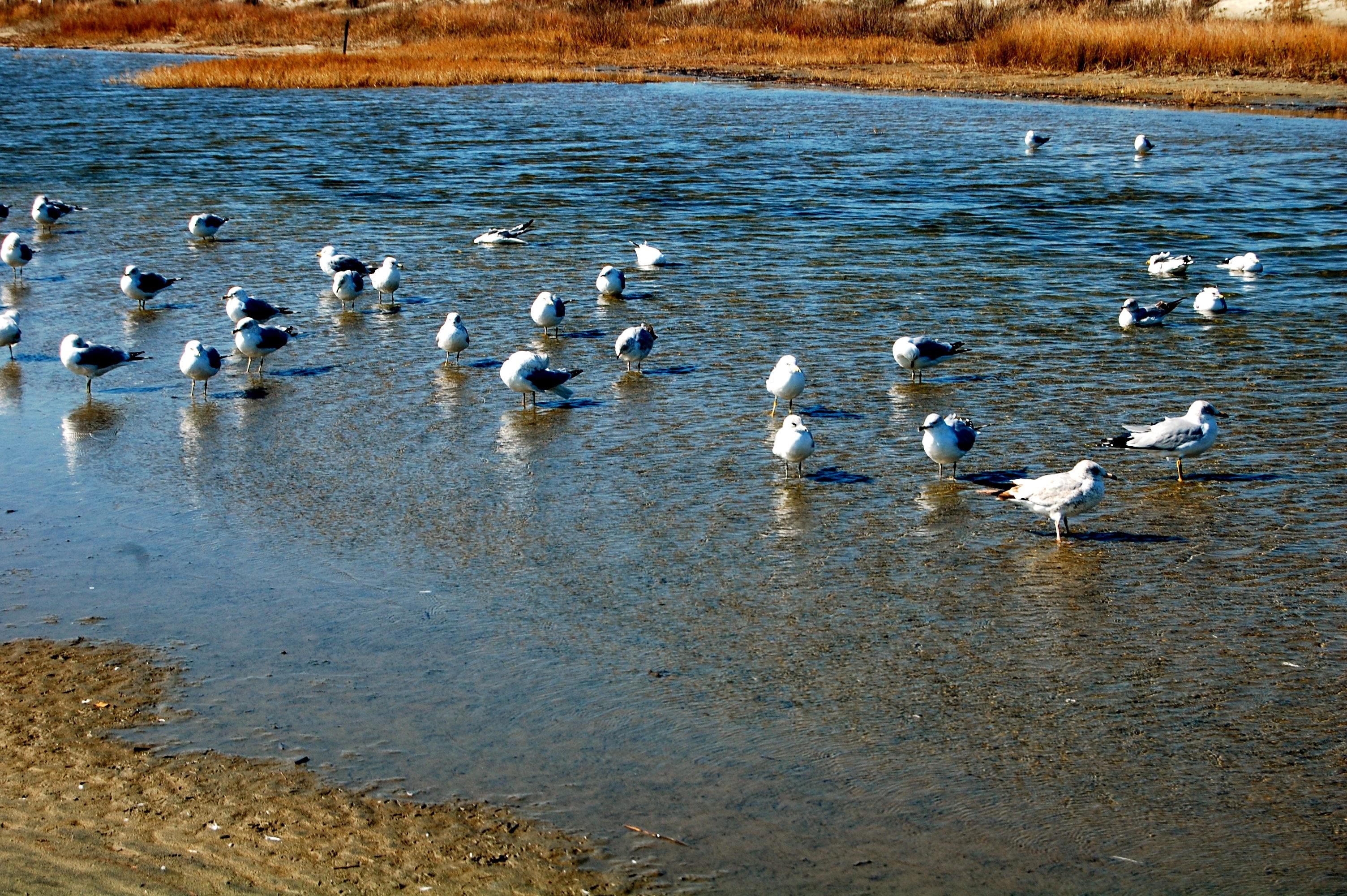 Gulls at Charleston's Folly Beach