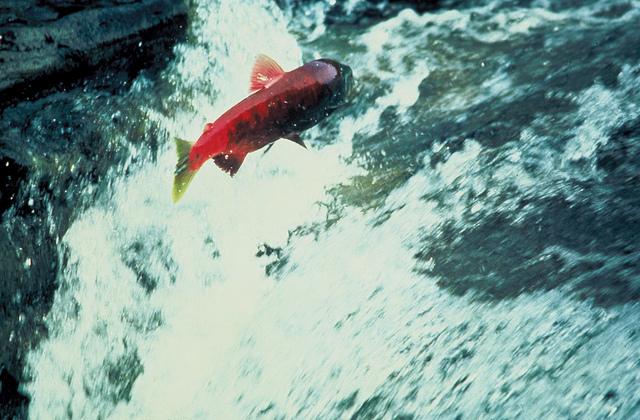 Alaskan salmon swimming upstream