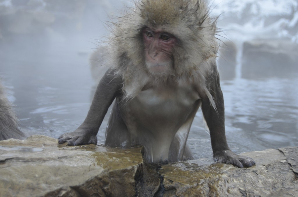 Snow monkey getting out of a hot spring in Japan