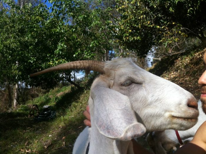 Working with goats