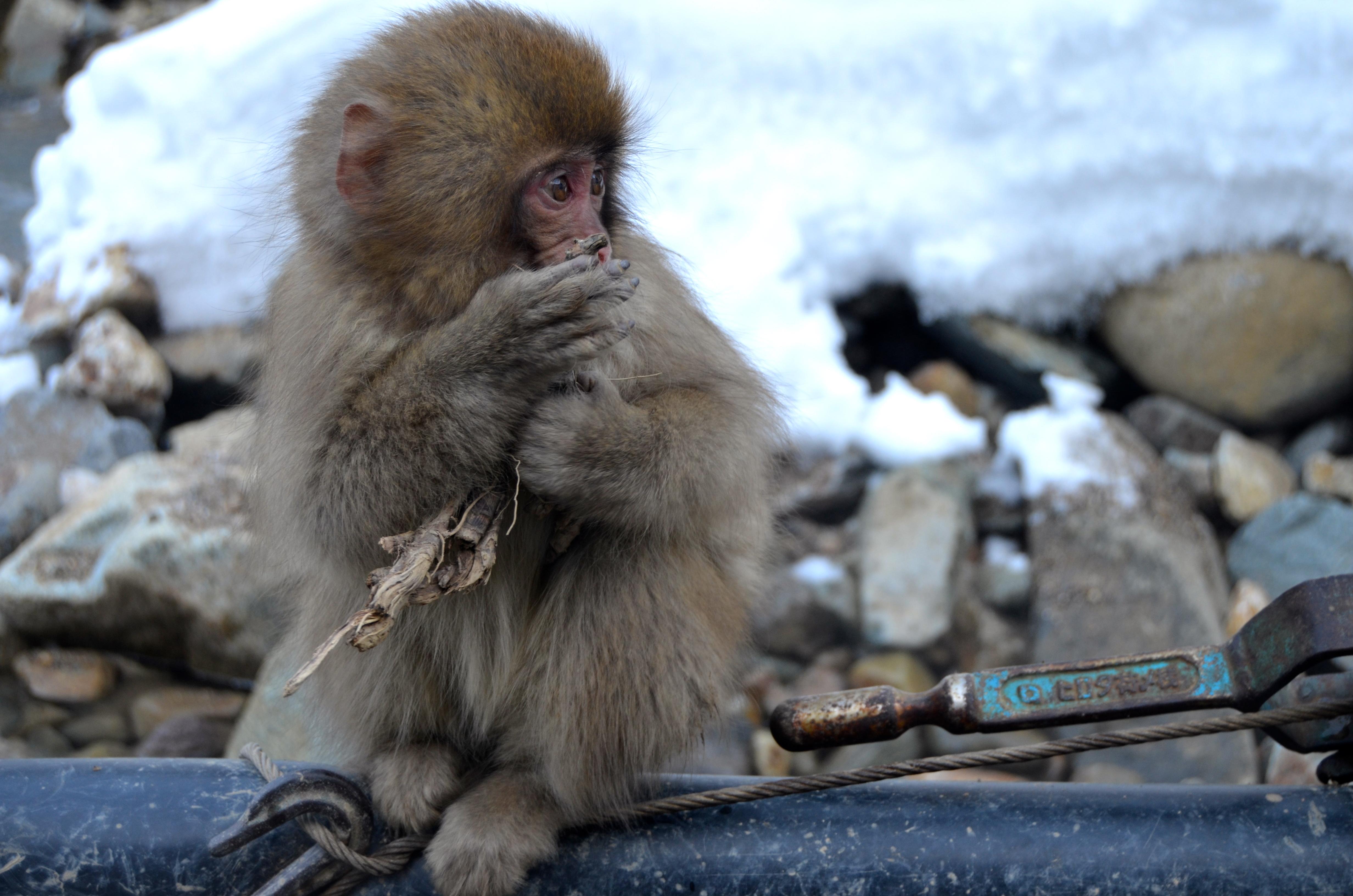 Baby snow monkey Japan