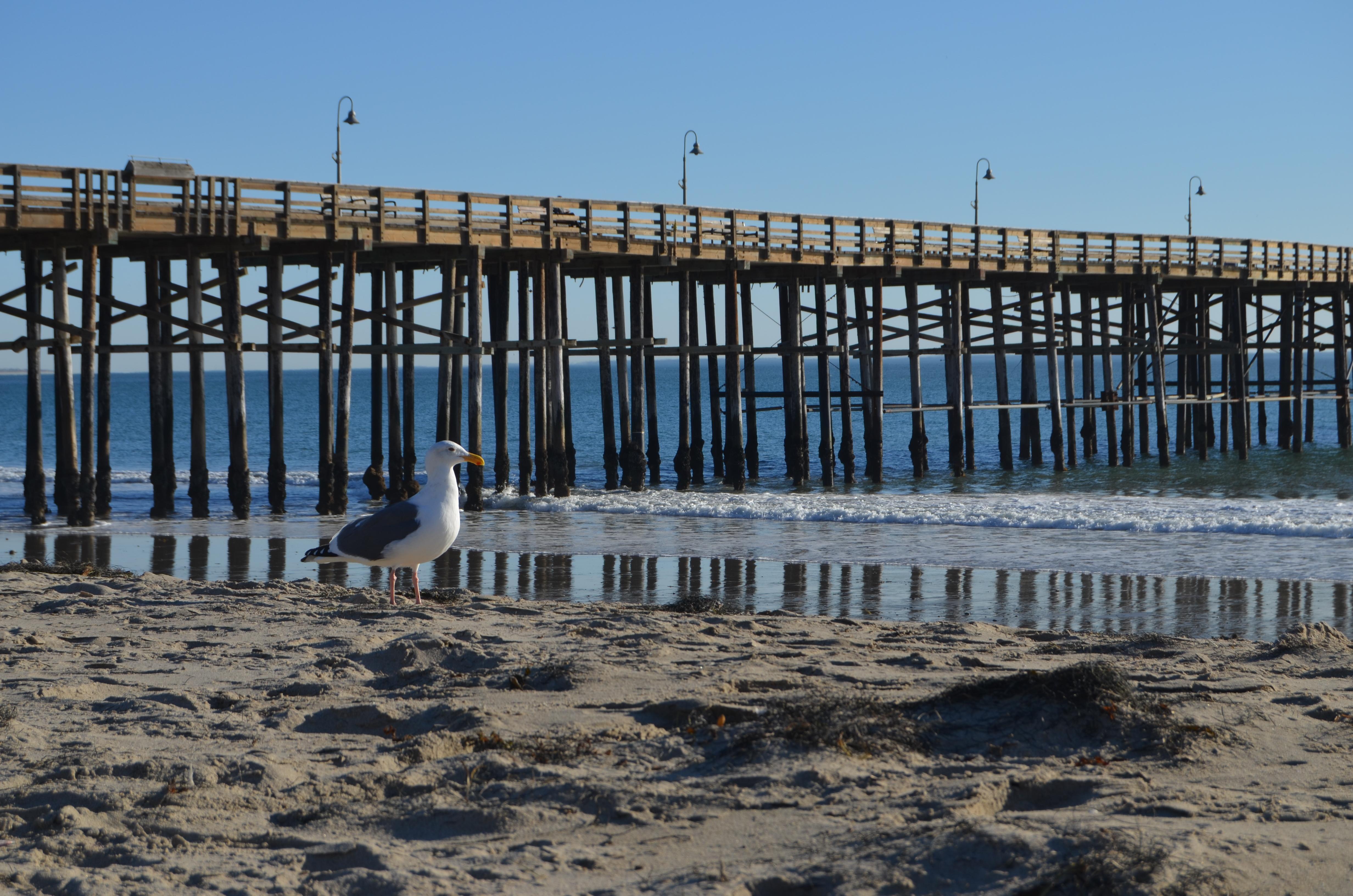 Gull at Ventura Pier
